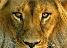 Lions_Eyes_ezr